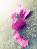 Pink Bougainvillea leaves Royalty Free Stock Images