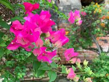 The pink bougainvillea background royalty free stock photography