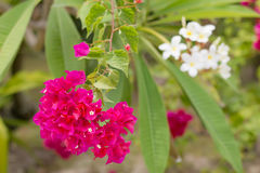 Pink Bougainvillea, Paper Flower Stock Photo
