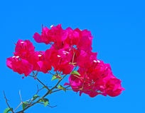 Bougainvillea paper flower. Pink bougainvillea paper flower on blue sky Stock Photography