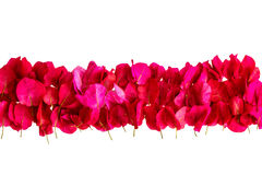 Pink bougainvillea petals isolated on white background Stock Photography