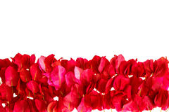 Pink bougainvillea petals isolated on white background Stock Photos