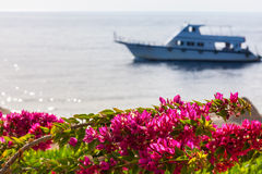 Pink bougainvillea, Sharm el Sheikh, Egypt Royalty Free Stock Image