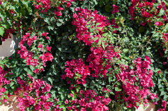 Pink Bougainvillea Spectabilis Stock Image