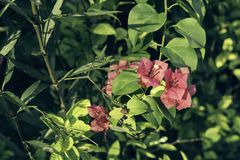 Pink Bougainvillea with sun bright pastel tone. stock images