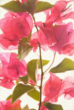 Pink bougainvillea textured art background. Pink bougainvillea textured on art background royalty free stock photos