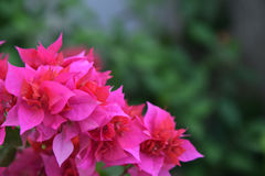 Pink Bougainvillea Stock Image