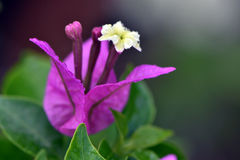 Pink Bougainvillea Royalty Free Stock Images