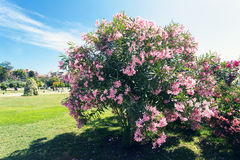 Pink Bougainvillea on tree Royalty Free Stock Photo