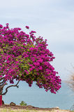 Pink Bougainvillea Tree 2 Stock Photos