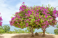 Pink Bougainvillea Tree 3 Royalty Free Stock Images