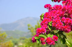 Pink bougainvillea and view of mountain Royalty Free Stock Photo