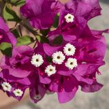Pink bougainvilleas blooming with white flowers. Stock Photography