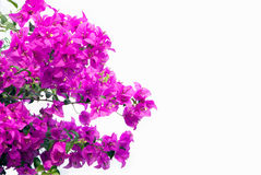 Pink bougainvilleas isolated on white background. Stock Photography