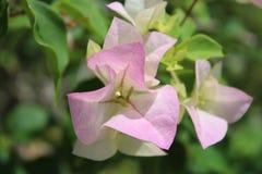 Pink bouganvillea Stock Photo