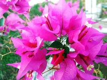 Pink bouganvillea. Pink flower of bougainvillea Royalty Free Stock Images