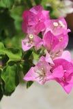 Pink bouganvillea Royalty Free Stock Photos