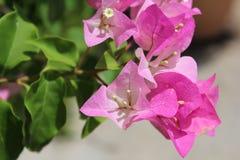 Pink bouganvillea Stock Image