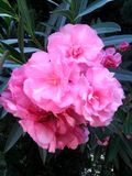 Pink Bouquet of Flowers in Full Bloom Royalty Free Stock Photo