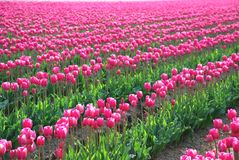 Pink Bouquet of Sping. Field of pink tulips in Spring Stock Photo