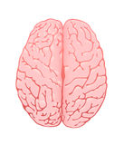 Pink brain a top view Royalty Free Stock Image