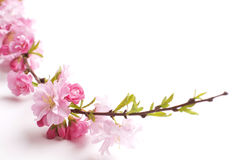 Pink branch Stock Image