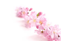 Pink branch. On white background, copyspace Stock Image