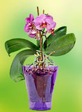 Pink branch orchid  flowers with green leaves, in a mauve transparent vase. Orchidaceae, Phalaenopsis known as the Moth Orchid Royalty Free Stock Image