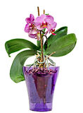 Pink branch orchid  flowers with green leaves, in a mauve transparent vase. Orchidaceae, Phalaenopsis known as the Moth Orchid Royalty Free Stock Images