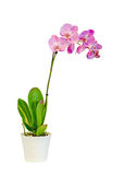 Pink branch orchid flowers with green leaves, Orchidaceae, Phalaenopsis known as the Moth Orchid, abbreviated Phal. Royalty Free Stock Photo
