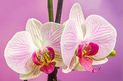 Pink branch orchid  flowers with green leaves. Orchidaceae, Phalaenopsis known as the Moth Orchid, abbreviated Phal. Royalty Free Stock Photos