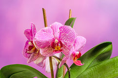 Pink branch orchid  flowers with green leaves, Orchidaceae, Phalaenopsis known as the Moth Orchid, abbreviated Phal Royalty Free Stock Photo