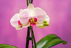 Pink branch orchid  flowers with green leaves, Orchidaceae, Phalaenopsis known as the Moth Orchid, abbreviated Phal Royalty Free Stock Photography