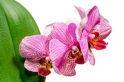 Pink branch orchid  flowers with green leaves. Orchidaceae, Phalaenopsis known as the Moth Orchid, abbreviated Phal. Stock Image