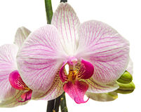 Pink branch orchid  flowers with green leaves, Orchidaceae, Phalaenopsis known as the Moth Orchid, abbreviated Phal. Royalty Free Stock Image