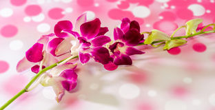 Pink branch orchid  flowers, Orchidaceae, Phalaenopsis known as the Moth Orchid, abbreviated Phal Stock Photography