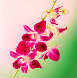 Pink branch orchid  flowers, Orchidaceae, Phalaenopsis known as the Moth Orchid, abbreviated Phal. Pink bokeh light background. Stock Photo