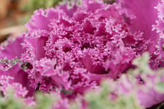 Pink Brassica oleracea Stock Photo