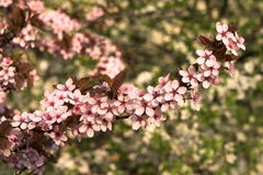 Pink brench. Pink blossom flowers brench in the evening sun Stock Photography