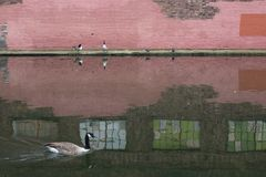Pink brickwall with geese stock image