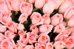 Pink bridal roses background close-up Royalty Free Stock Photography