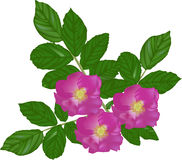 Pink brier flowers with green leaves on white Stock Photo