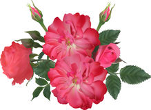Pink brier and rose blooms on white background Stock Photos