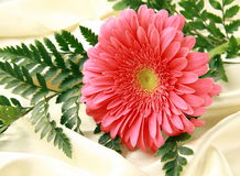 Pink bright  Gerbera on a silk Stock Image