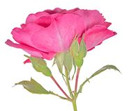Pink bright large rose with two buds and bloom Stock Photo