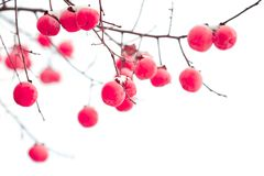 Isolated persimmon fruits under the snow royalty free stock photos