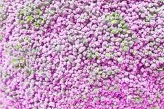 Pink broccoli background, broccoli Incorrect color Royalty Free Stock Photos
