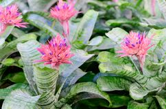 Pink Bromeliad flower or Aechmea fasciata Stock Images