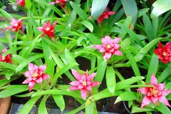 Pink bromeliad flower. The image of the beautiful pink bromeliad flower and it's leaves Stock Image