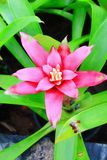 Pink bromeliad flower. The image of the pink bromeliad flower and it's leaves Stock Image